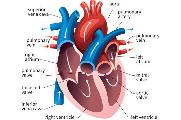 How The Human Heart Evolved Four Chambers Human Heart Diagram Heart Diagram Heart Anatomy