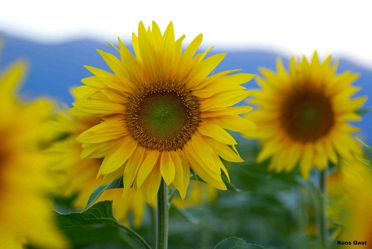 Foto Roos Gast | #bloemen #flowers #flors #花 #floroj #Blumen #fleurs #blommor #flores #الزهور #roos_gast #sunflowers #zonnebloemen #tournesols #sunfloroj #Sonnenblumen #solrosor 해바라기 | ヒマワリ | #girasoles
