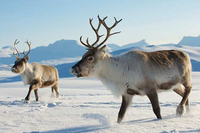 Águas de Pontal: As renas do Polo Norte estão em apuros