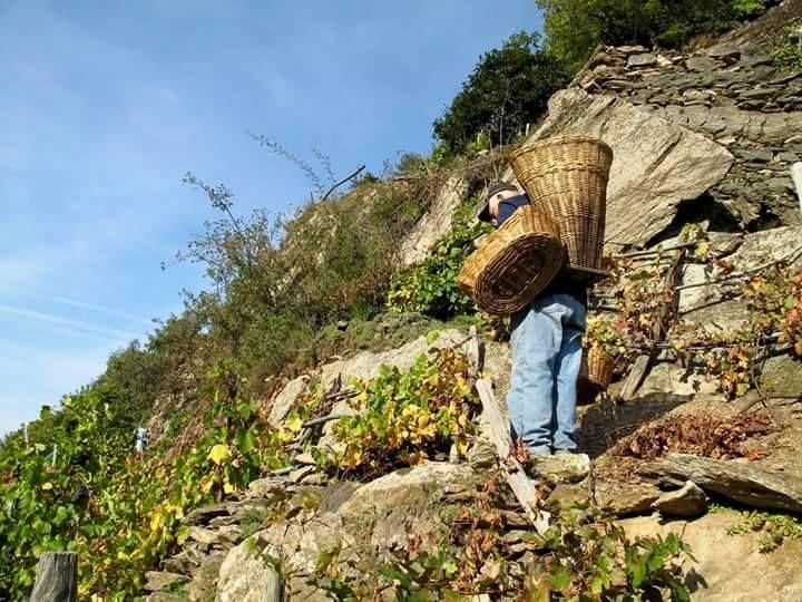 Vendemmia alpinistica sugli ultimi terrazzamenti ancora coltivati in Alta Valle Susa con antichi vitigni locali.  fotografia Jardin des Alpes Piccola agricoltura di montagna che ringraziamo