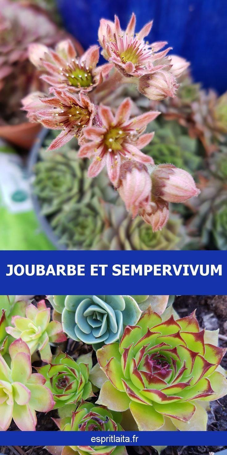 Joubarbe Et Sempervivum Avec Images Sempervivum Plantes