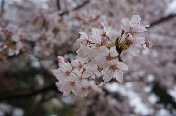 Gambar Bunga Sakura Yang Indah Sekali Beranda Desain Taman 20 Gambar Desain Taman Bunga Sakura Yang Cantik Indah Dan Popular 2 Gambar Bunga Taman Bunga Bunga