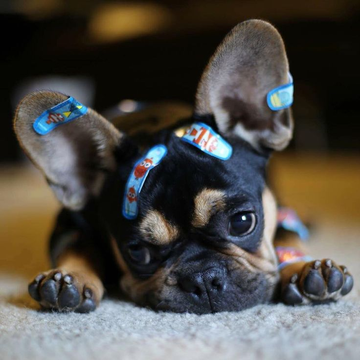 Hamlet, the French Bulldog Puppy, @heyhamlet on instagram, Top 5 French Bulldog Instagram profiles