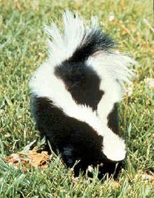 Do You Need Skunk Removal?