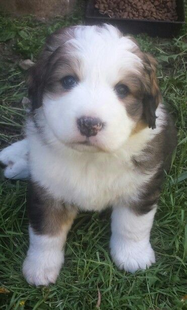 "Our new family member! ""Phoenix""! Great Bernese pup! Great pyrenees/Bernese Mountain Dog cross!♡"
