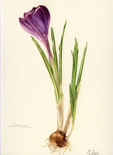 Crocus. Welcome to my page about amaryllis, hyacinths and other bulbs http://www.facebook.com/flowerindoorgardening  #crocus  #bulb