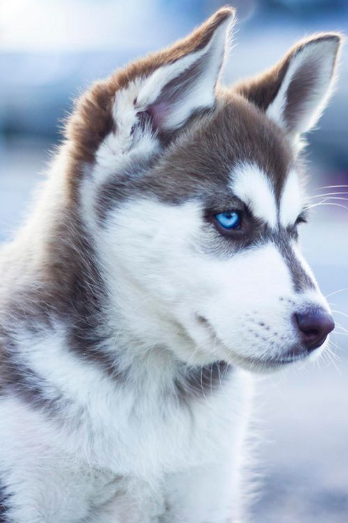 Husky une race de chien aux yeux magnifique - Tap the pin for the most adorable pawtastic fur baby apparel! You'll love the dog clothes and cat clothes! <3