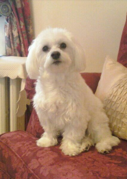 Maltese....just meant to be beautiful!