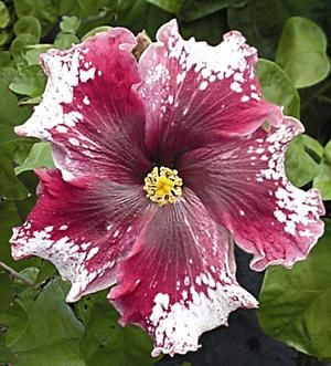 """purple magic"" Hibiscus (2012 wish)"