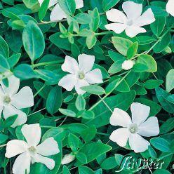 Weißes Immergrün 'Alba' (weiß), für den Schattengarten