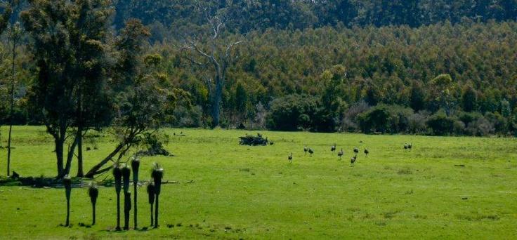 Emus in paddock