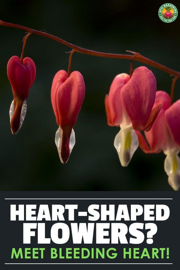 Bleeding Heart Flower Dicentra Spectabilis Care Bleeding Heart Vegetable Planting Guide Bleeding Heart Flower