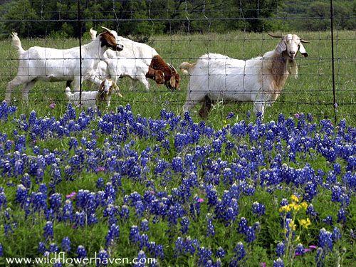 143 Best Texas Bluebonnets Images On Pinterest Beautiful