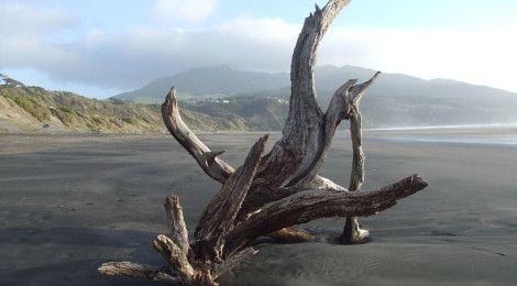 Driftwood, Raglan beach, NZ Photo: Sue Philbin