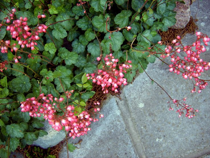 If you're looking for stunning color in the garden, then why not consider planting the coral bells perennial. In addition to flower color, you will love the intense foliage colors available. Read here for more info.