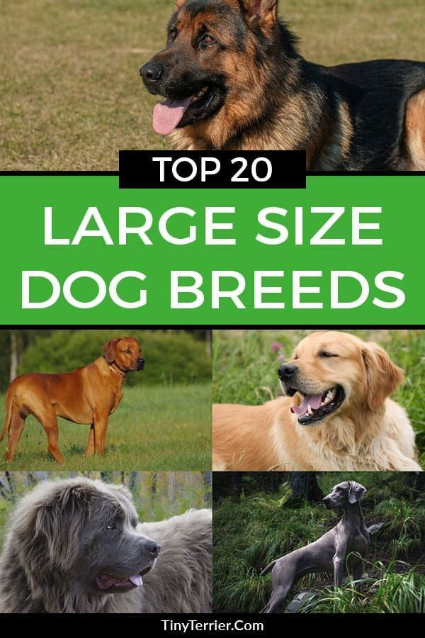 Types Of Large Dog Breeds With Pictures