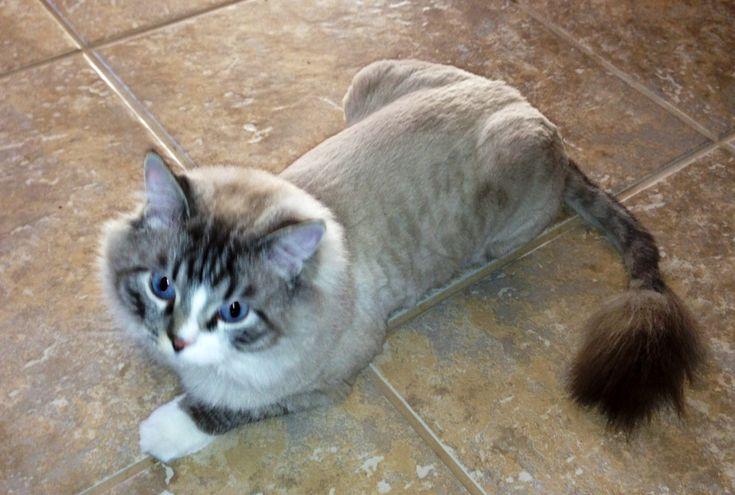 Cutting Cat Hair Like Lion