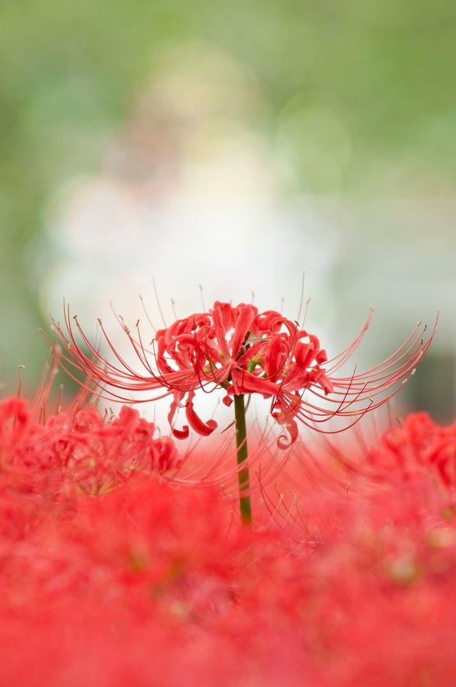 「巾着田の彼岸花」のフリー写真素材