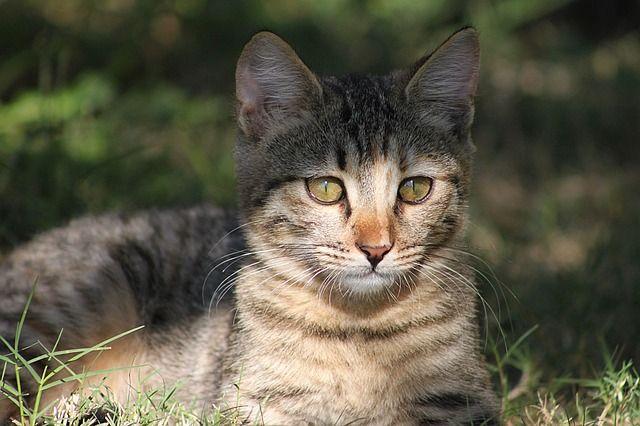 Photo By nessaja99 | Pixabay   #cat #domesticcat #pet #catsoninstagram #catslove #cats #catsofday #catsforever