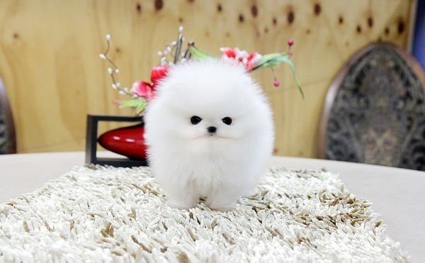 """Micro Teacup Pomeranian"" from Craigslist..omigosh"