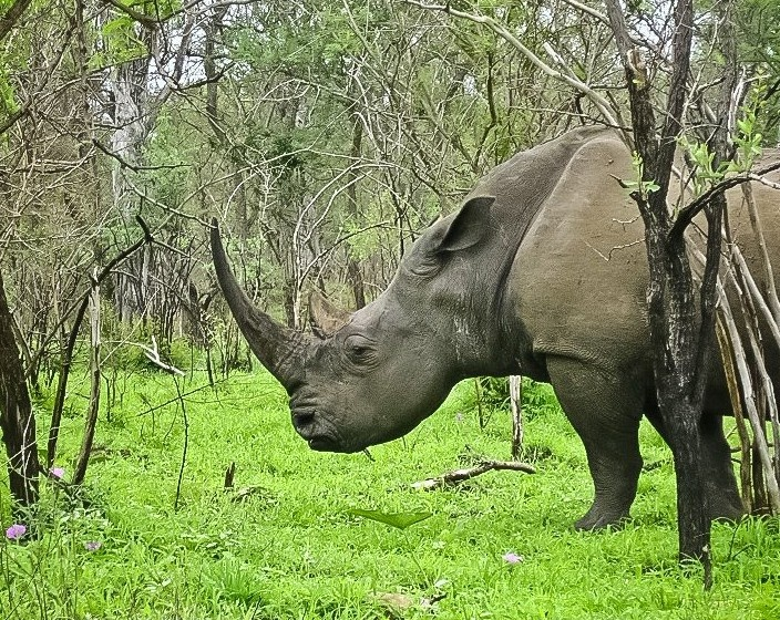 White rhino, Kruger National Park, South Africa Photo ~ Ralph Pina