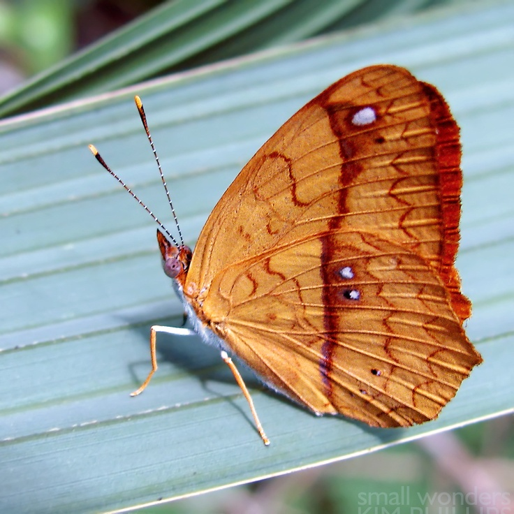 Little Banner Butterfly (Nica flavilla) Range: Mexico - Bolivia. Rainforests, humid deciduous forests. Host Plants: Soapberry family (Sapindaceae).