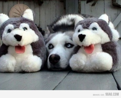 which husky is real?