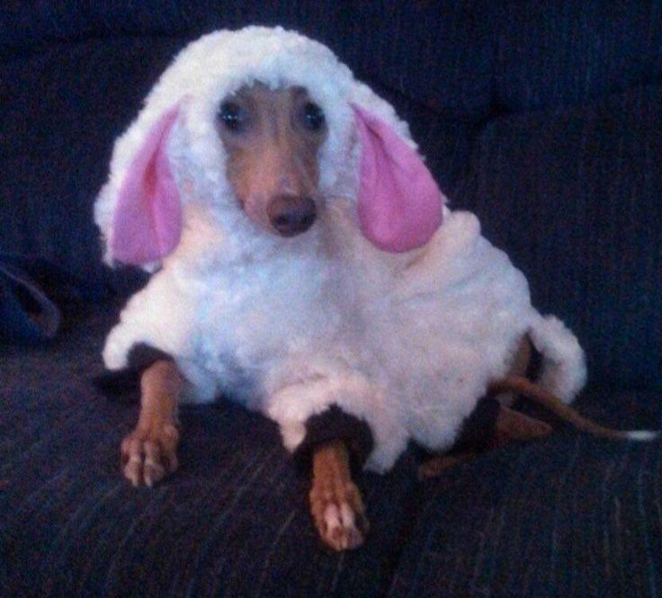 The little woof in sheep's clothing
