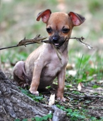 Chihuahua Dogs, Hair Loss And Chihuahuas On Pinterest