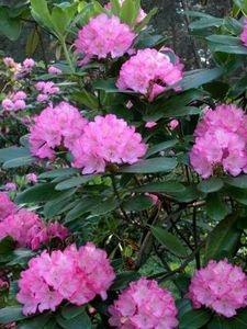 171 best images about bella flor de rhododendron on for How to care for rhododendrons after blooming