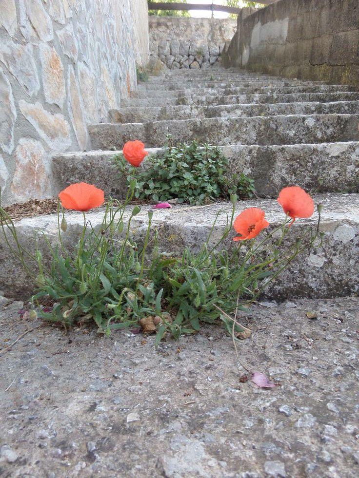Flowers on the steps to the church, Galilea, Mallorca, Spain