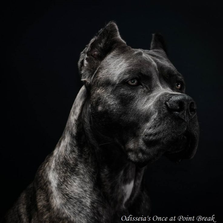 American Cane Corso - Odisseia's Once at Point Break (Utah)