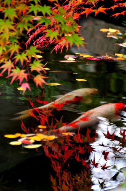Koi fish are very pretty sacred Japanese fish found all over Japan.