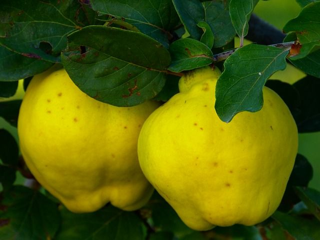 "The ""Forbidden Fruit"" from the Garden of Eden, Quince Offers Several Incredible Health Benefits"