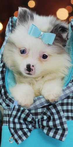 Breathtaking Blue Merle Pomeranian for Sale! Call 954-353-7864 or visit www.teacuppuppiesstore.com to see him and other adorable babies! #pomeranian #pom #pomsky #teacuppomeranian #pocketbookpomeranian #micropomeranian #teacup #pocketbook #micro #teacuppuppiesstore #teacuppuppies #puppy #puppiesforsale #teacuppuppiesforsale #love #puppylove #bestfriend #foreverfriend #cute #adorable #tiny #beautiful #gorgeous #stunning #bluemerle #blue #blueeyes #boo #boothepomeranian #unique #different…