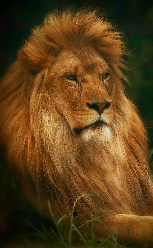 "Wildlife - title ""King"" - Lion at Woburn Safari park, England. - photographer Chris Boulton"