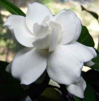 White gardenia - my favorite flower and even part of my wedding bouquet