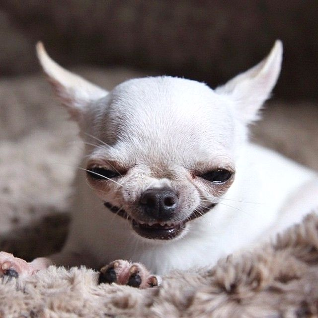 пробираясь злая маленькая собачка картинки какой-то