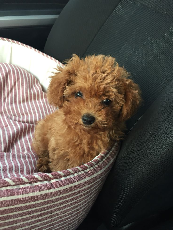 Mocha the red Poodle micro toy