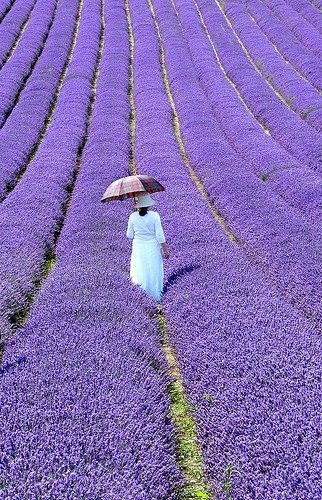 Lavender Field: Flowers Fields, Umbrellas, Walks, Dreams, The Colors Purple, Lavender Fields, Purple Flowers, Heavens, Provence France