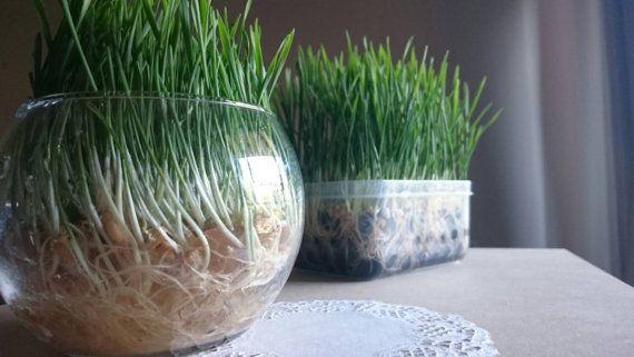 Soilless Pet Grass Kit - Easy Grow No Mess Fresh Healthy Rabbit / Guinea Pig / Cat Treat