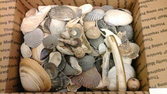 Bulk wholesale sea shells craft beach by TheresaBsTreasures
