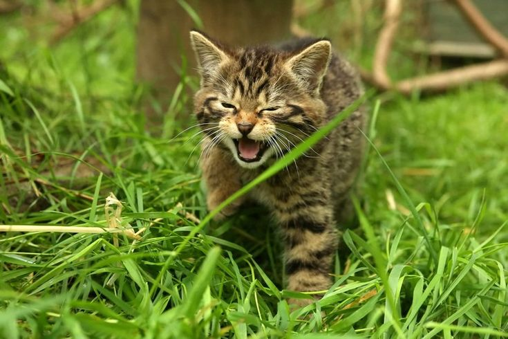 Rare Scottish wildcat kittens born in the Highlands — Metro – CUTE KIDS