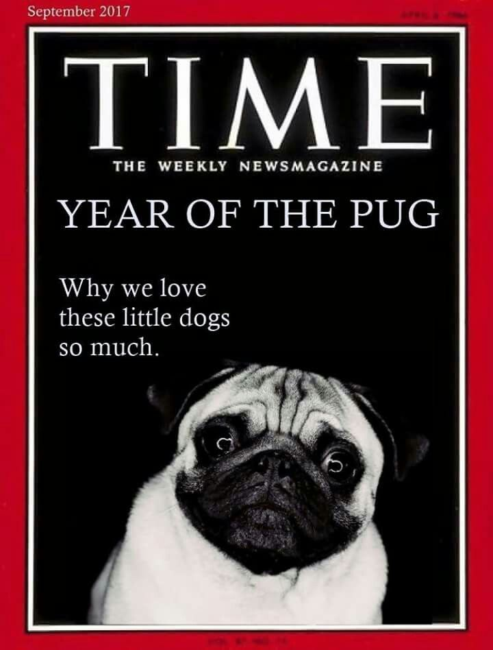 Pugs Are Pugliciously Precious In Every Way Pugs Pugs Funny