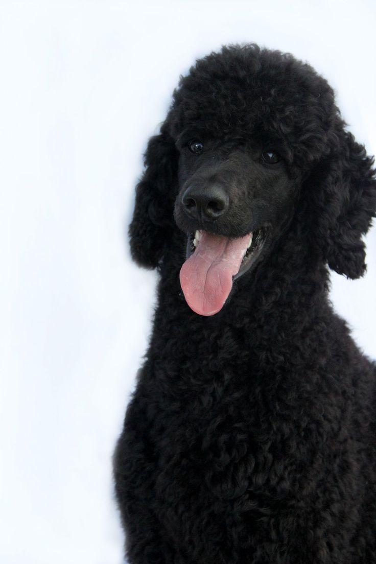 Black poodle dog