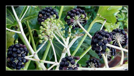 Fatsia japonica este un arbust cu frunze sempervivescente, din familia Asaliaceae-lor, nativ din Japonia de Sud. Atinge o înălțime între 3 și 6 metri, cu ramuri viguroase, slab ramificate. Frunzele sunt dispuse în spirale, mari, cu o lățime între 20 și 50 de cm., palmat lobate, cu câte 7...