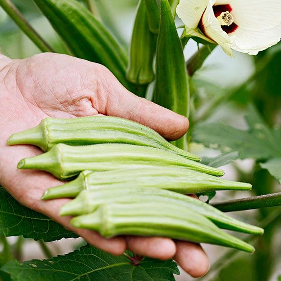 A mainstay of Southern cooking, okra was brought to the United States by Ethiopian slaves.