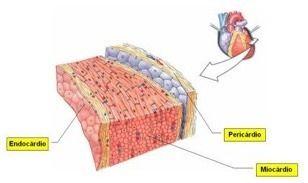 El epicardio es la capa visceral del pericardio y recubre la superficie externa del corazón bajo la forma de una membrana serosa delgada. Está compuesto por: Epitelio plano simple (mesotelio). Tejido conectivo laxo submesotelial. La capa parietal del pericardio es también una membrana serosa común.