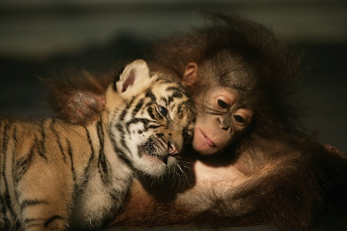 Baby Tiger and Monkey all cuddly