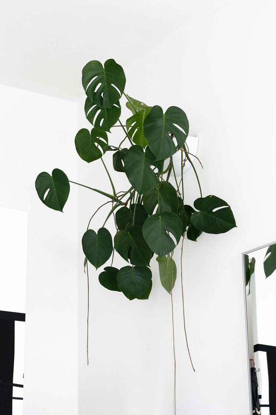 monstera deliciosa growing high off the ground as it would do in its native habitat and equally at home in a toronto studio